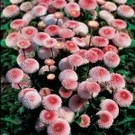Bellis 'Strawberries and Cream' (English Daisy)