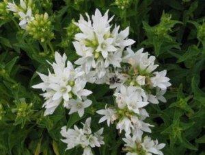 Campanula glomerata 'White Clustered Bellflower'