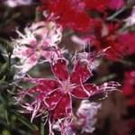 Dianthus 'Spooky Mix'  (Dianthus superba)