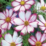 Cosmos 'Candystripe'