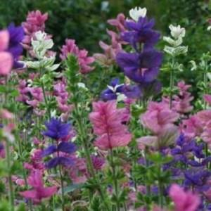 Salvia 'Clary Sage'