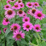 Echinacea, 'Ruby Star' (Coneflower)
