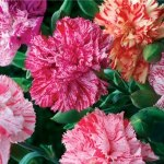 Carnation 'Chabaud Mix'