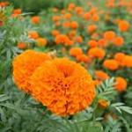 Marigold 'Orange Garland'