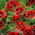 Poppy, 'Ladybird'