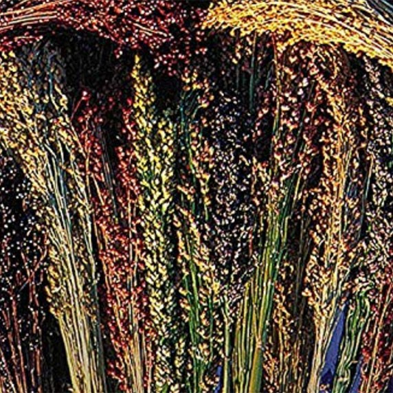 Amish Rainbow Broomcorn