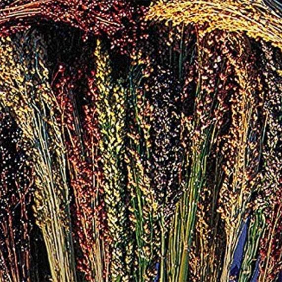 Amish Rainbow Broomcorn