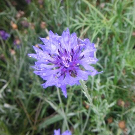Bachelor's Buttons Blend (Centaurea Cornflower)