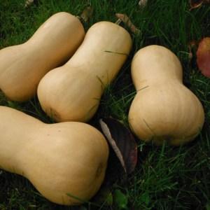 Butternut Squash - Nutterbutter