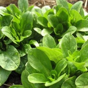 Greens - Mache Corn Salad   Organic  