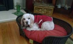 Lady loved to snuggle in her fleece coat on a soft, comfy bed.