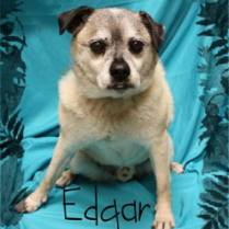 Edgar...full of personality! He is around 8 years old and loves everyone. He is chubby little guy just wanting to find his forever family. He has been neutered, vaccinated and recently has his dental so he is ready to jump into your arms and be loved! 100.00 adoption fee