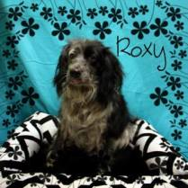 Roxy is an adorable little girl! She has a sweet and loving temperament, enjoys the company of other dogs, and is good with kids, and people of all sizes, cat. Roxy spayed and up-to-date on her vaccinations.