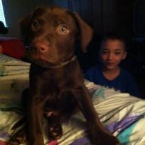 Dusty - choc lab mix. Available after Feb 13