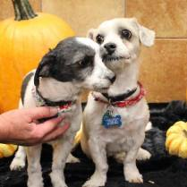 ADOPTED! JJ and Boomer...A sweet bonded pair. 7-9 years old. They would do best in a quiet home with older children. Very sweet pair that needs a special home to welcome them both together. Contact us for more information on these cuties!