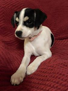 Marley - A lively 10-week old Jack Russell mix will be available after Dec. 18. $200 adoption fee covers neuter, full set of vaccines, and microchip