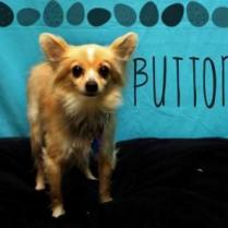ADOPTED! - Buttons is sweet, but very shy. At his foster home, this 10 pound, 2 year-old chi-mix took a couple of weeks to relax and trust his foster. So he will need someone who understands that he will take a little while to bond with them. Buttons will do well in a home that offers him lots of structure, calm, and predictability, to help him relax and bring out his gentle affection. Buttons is neutered, microchipped, and fully vaccinated. This charming little guy has years of love and companionship to give, and he would love to begin his new life right away!