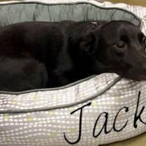 ADOPTED! Sweet, gentle Jack is a Lab-Corgi mix. He is 2 years old and is housetrained and crate trained. Jack loves kids and other dogs, and he is a very good boy with them. Jack also loves chickens – too much, because he loves to chase them. This is not good, so, no more chickens for Jack!