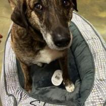 ADOPTED! Snuggly Shadow is around 9 years old and is a brindle cattle dog. She is the entire definition of gentle! She is house trained and so wanting to find a forever home where someone will just take her for walks and let her snuggle up and be loved..