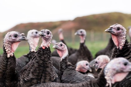 Our cheeky Hopetoun bronze turkeys