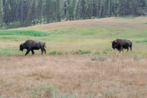 two bison in a meadow, Yellowstone National Park