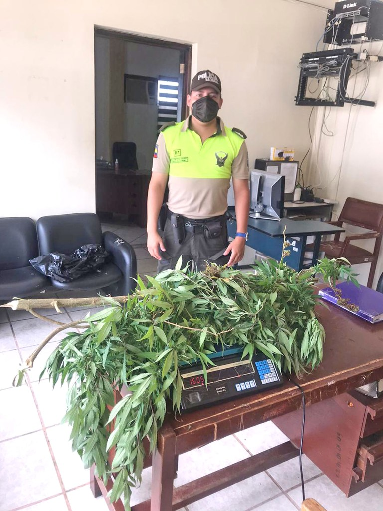 Esta es la planta de marihuana que se extrajo de una casa de Yantzaza.