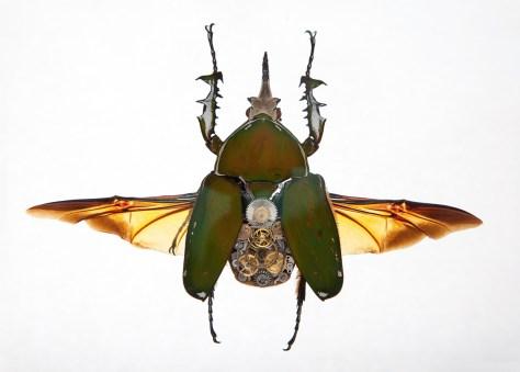 Mecynorrhina Secundus