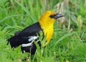 Yellow-headed Blackbird at the Horicon Marsh