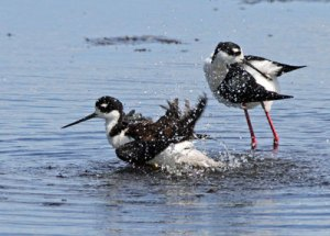 Black-necked Stilts at the Horicon Marsh