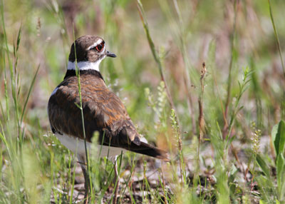 Killdeer on the Horicon Marsh