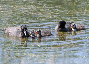 American Coots at the Horicon Marsh