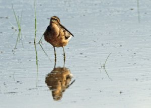 Short-billed Dowitcher at the Horicon Marsh