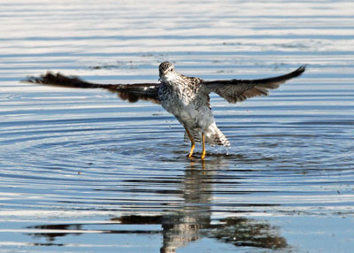 Lesser Yellowlegs at the Horicon Marsh