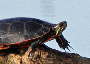 Painted Turtle at the Horicon Marsh