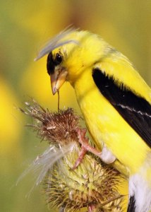 American Goldfinch at the Horicon Marsh