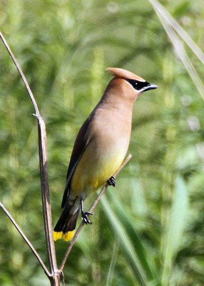 Cedar Waxwing at the Horicon Marsh