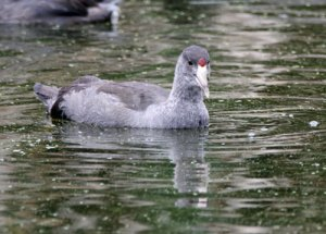 American Coot at the Horicon Marsh