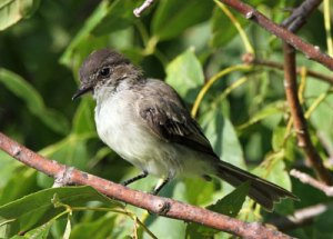 Eastern Phoebe at the Horicon Marsh