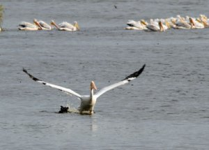 American White Pelican at the Horicon Marsh