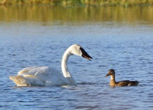 Trumpeter Swan with Duck