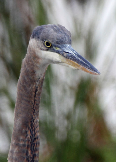 Great Blue Heron at the Horicon Marsh
