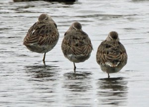Dowitchers at the Horicon Marsh