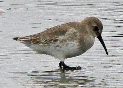 Dunlin at the Horicon Marsh
