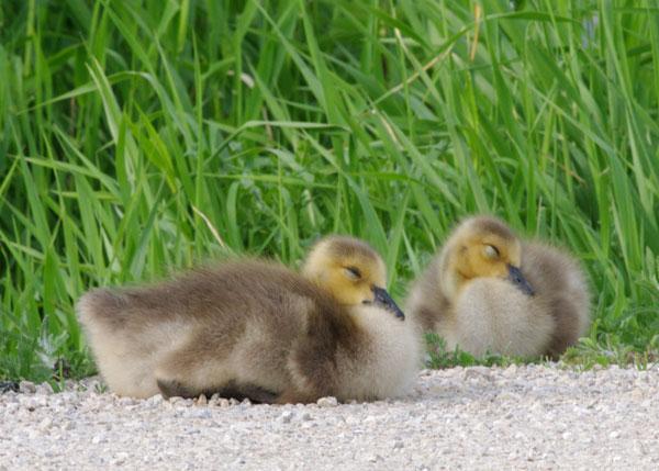 Goslings at the Horicon Marsh