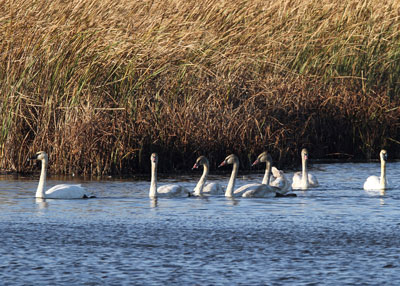 Trumpeter Swans at the Horicon Marsh