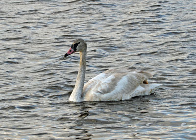 Trumpeter Swan at the Horicon Marsh