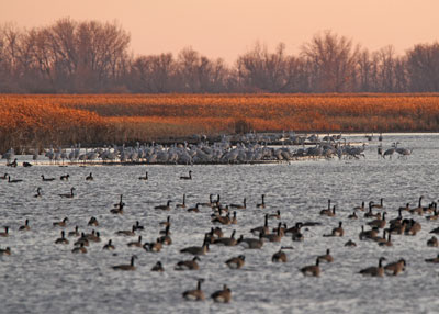 Sandhill Cranes and Canada Geese at the Horicon Marsh