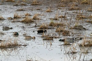 Dabblers at the Horicon Marsh