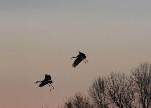 Sandhill Cranes at the Horicon Marsh