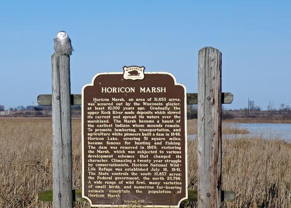 Snowly Owl at the Horicon Marsh